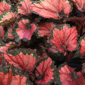 Begonia stickling Beleaf Inca NIght 2-pack leverans Mars April 2019