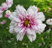 Rosenskära Double Click Bicolor Pink  8 frö
