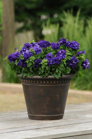 Buskpetunia dubbel blå 10 frö