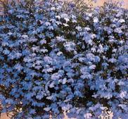 Kantlobelia  Riviera sky blue  ca 650 frö