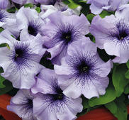 Petunia Limbo Blue Veined 15 frö