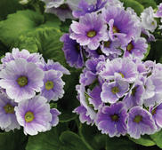 "Primula  ""Libre Blue Picotee ""15 frö"
