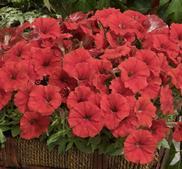 Minipetunia Picobella red 15 frö