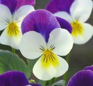 "Minipense  ""Floral Power White Purple Wing""  9 frön"