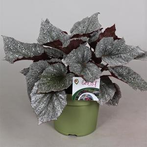 Begonia stickling Beleaf Yukon Frost 1-pack  Leverans Mars-April
