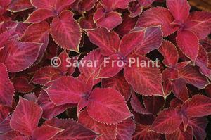 Palettblad wizard velvet red 15 frön