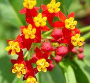 Sidenört red Butterfly  15 frö
