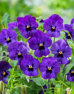 Viola Corina Deep Blue Blotch 10 frön