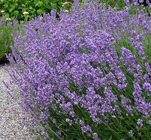 Lavendel 30 frö  (för doftkuddar etc)