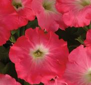 Petunia F1 Easy wave Rosy Dawn 5 frö