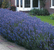 Lavendel Munstead War 20 frön