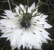 Nigella (jungrun i det gröna) Miss Jekyll white 200 frö *