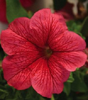 Petunia Limbo Red veined 15 frö
