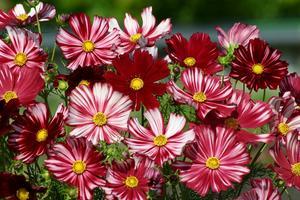Rosenskära Velourette 30 frön