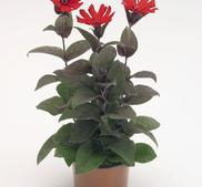 Praktklätt bronce leaf red 20 frö