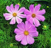 Rosenskära Sonata  Pink  15  frö nyintroduktion