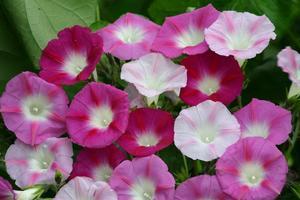 Blomma för dagen La Vie En Rose 20 frön