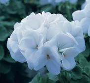 Pelargon Horizon Pure White 5 frö