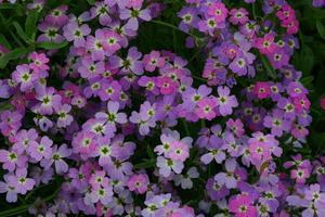 Lövkoja Spring Sparkle 500 frön