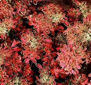 """Palettblad stickling """"Under the Sea Red Coral"""" för visning"""