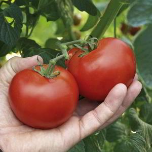 Tomat Megabite 5 frön