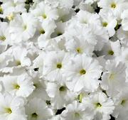 Petunia Success white 5 frö