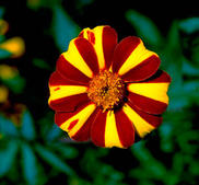 Tagetes Mr Majestic 20 frön