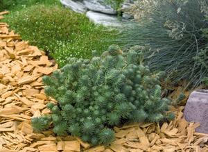 Fetknopp  Sedum Forsterianum Oracle 30 frö
