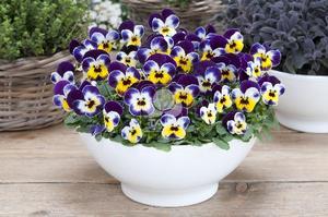 "Minipense ""Floral Power Jolly Face"" 9 frön"