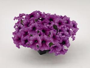 "Petunia ""Success Purple Vein"" 5  frön"