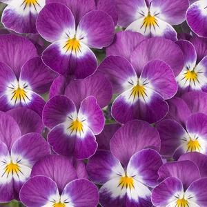 "Minipense ""Floral Power Purple Rose White Face"" 9 frön"
