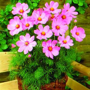 Rosenskära Sonata  Pink blush 15  frö nyintroduktion