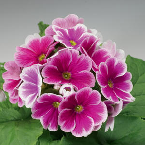 "Primula  ""Libre Rose Picotee ""15 frö"
