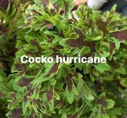 New (coco) Hurricane