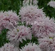 Fjädervallmo Lilac Pompon 500 frön