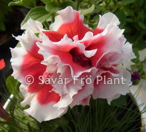 Busk  Petunia dubbel  red Pirouette  10 frö