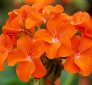 "Pelargon frösådd ""Horizon Orange"" 2-pack"