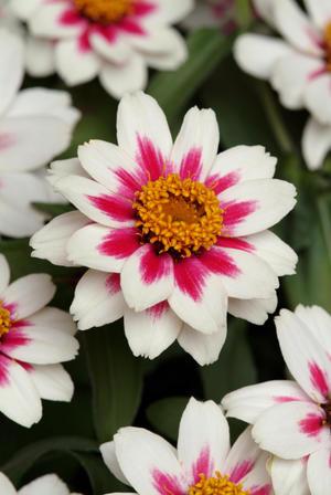 Zinnia Sahara Starlight rose 12 frö
