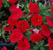 Petunia Mambo röd 12 frö