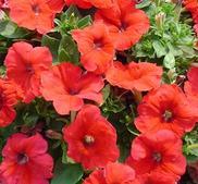 Petunia Mambo röd 15 frö