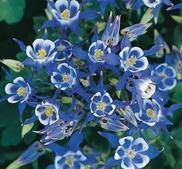 Akleja Winky Double Blue/ White 10 frön