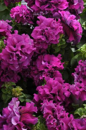 Buskpetunia dubbel   Burgundy F1 10 frö