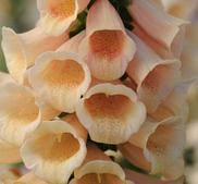 Fingerborgsblomma Dalmatian Peach 15 frö